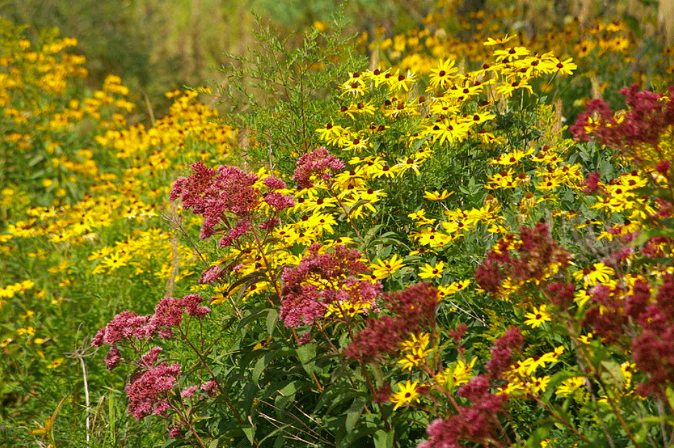 Madison Prairie in bloom, Mardueng, CC BY SA 3.0.