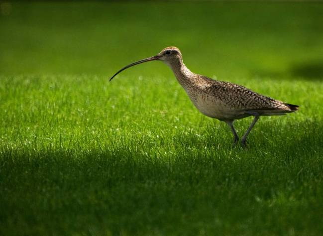 A medium-sized bird, speckled with brown and white, with a very long, slender beak, walks across a green, mowed lawn.