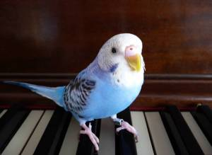 A parakeet named Punky perched on piano keys. A modified version of a photo by Amyra Moon, March 2011.
