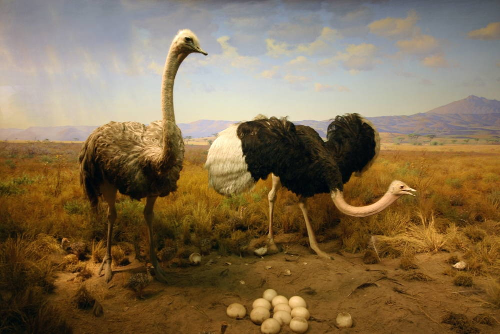 Painting of two ostriches