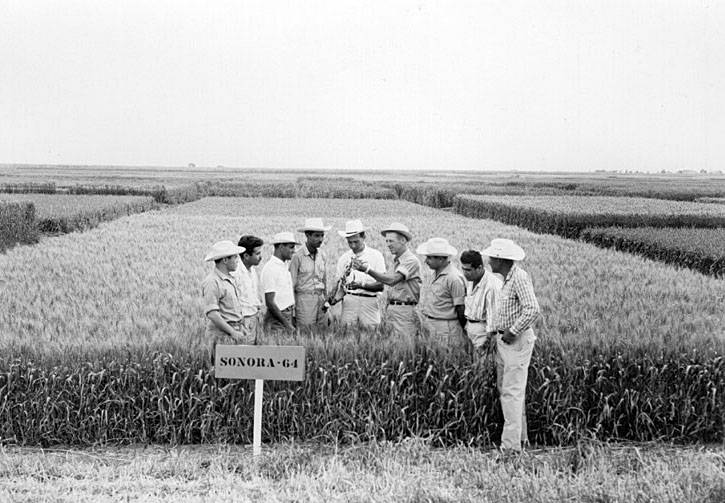 Norman Borlaug in a field of wheat showing a new seed type to international trainees.
