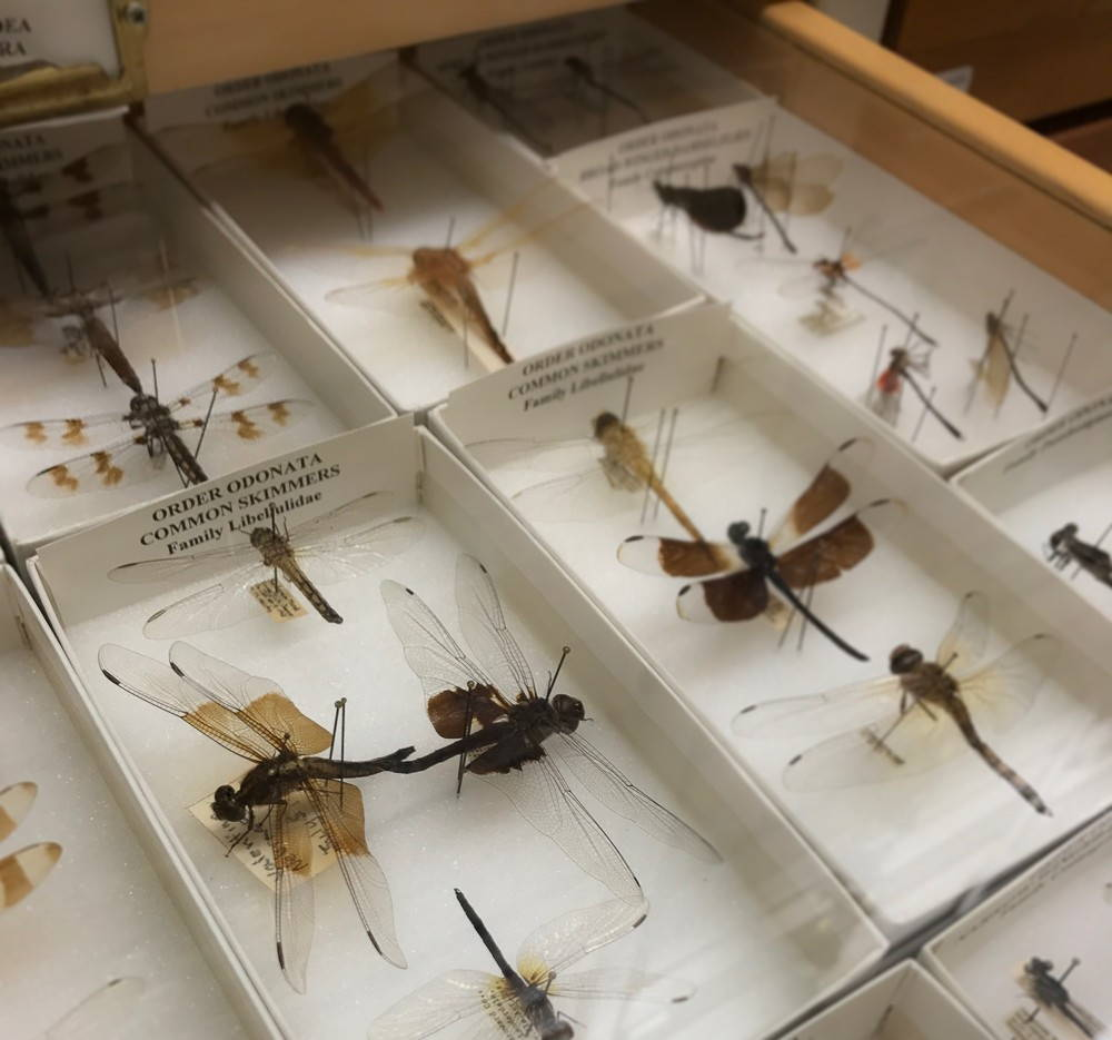 Dragonfly specimens sit in a drawer at the Essig insect collection.
