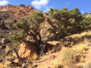 Two juniper trees grow on a hillside.