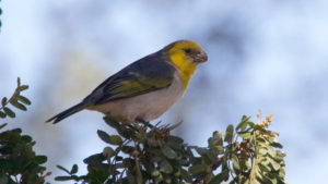 A palila, a strikingly yellow Hawaiian finch, rests on a tree branch.