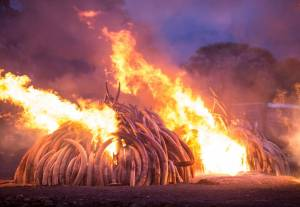 piles of ivory tusks engulfed in flames