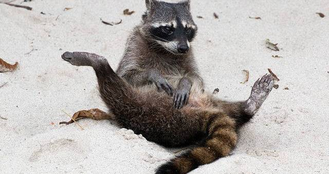 A raccoon sits with its legs splayed in the sand.