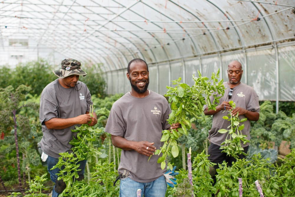 Workers cut vegetables in a greenhouse.