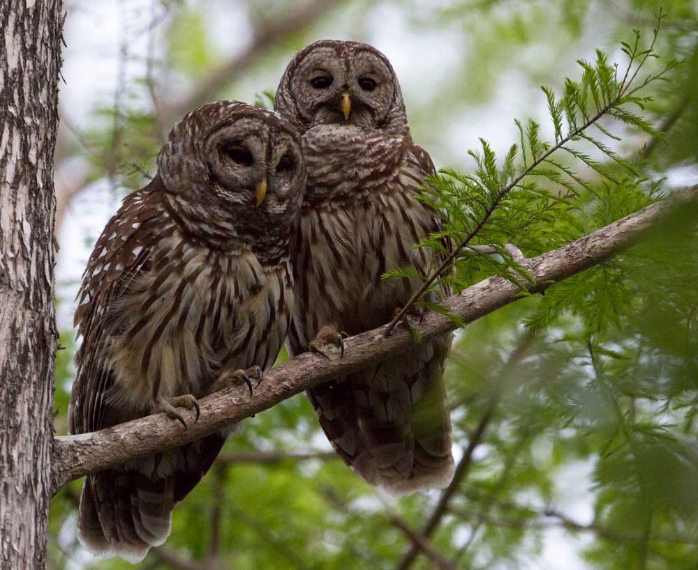 Two adult barred owls sit together on a branch