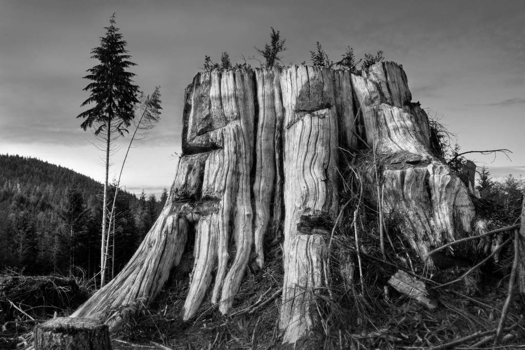 A black and white photograph of a large Western Red Cedar's stump.
