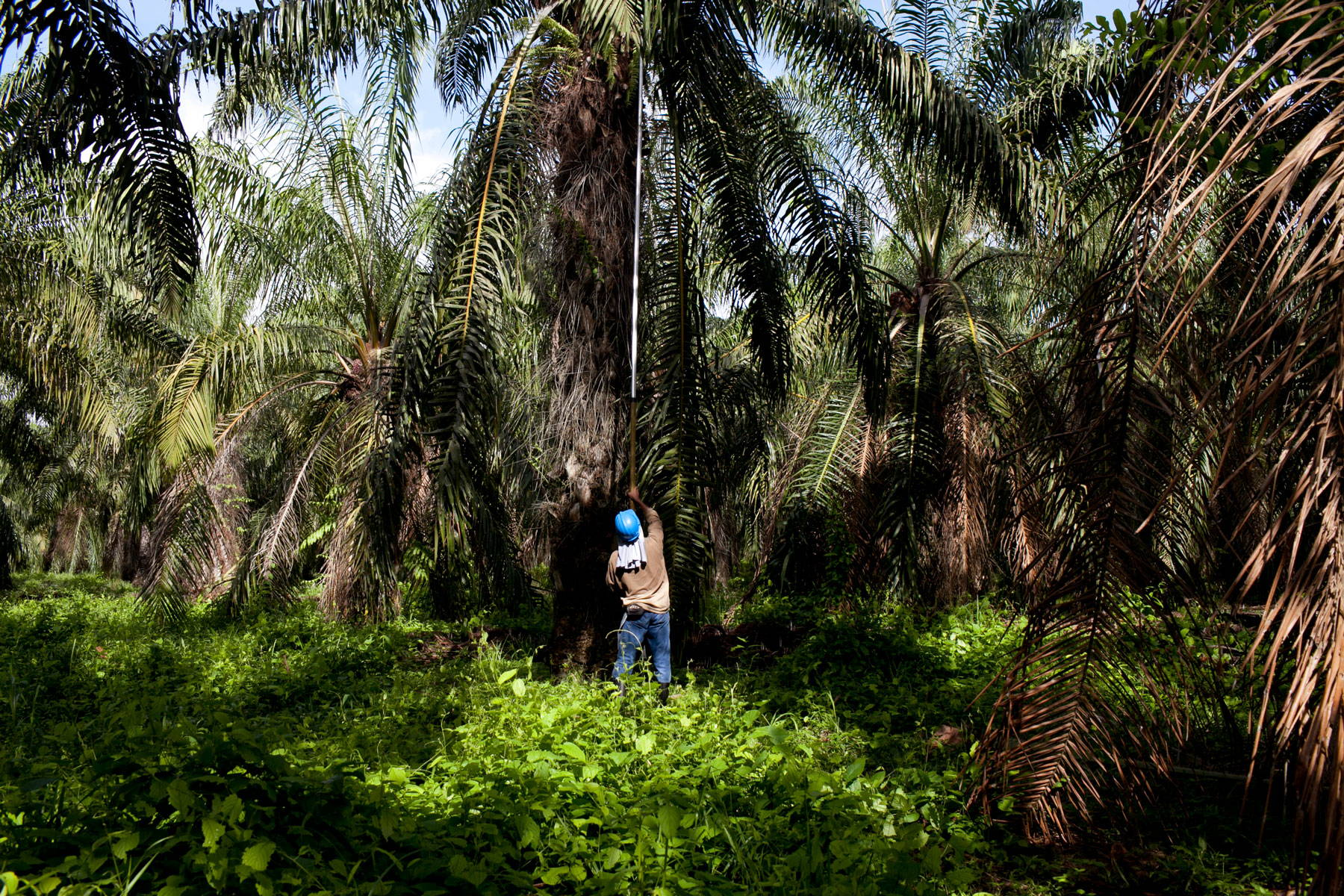 A laborer reaches up into a palm tree