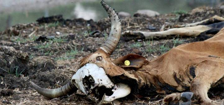Cattle carcass with bone beneath its hide exposed, decaying in a field