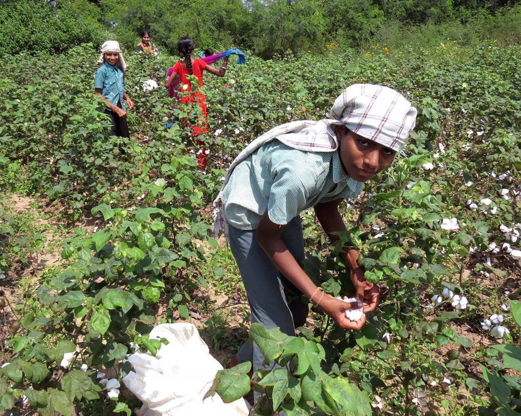 Boys harvest cotton in field