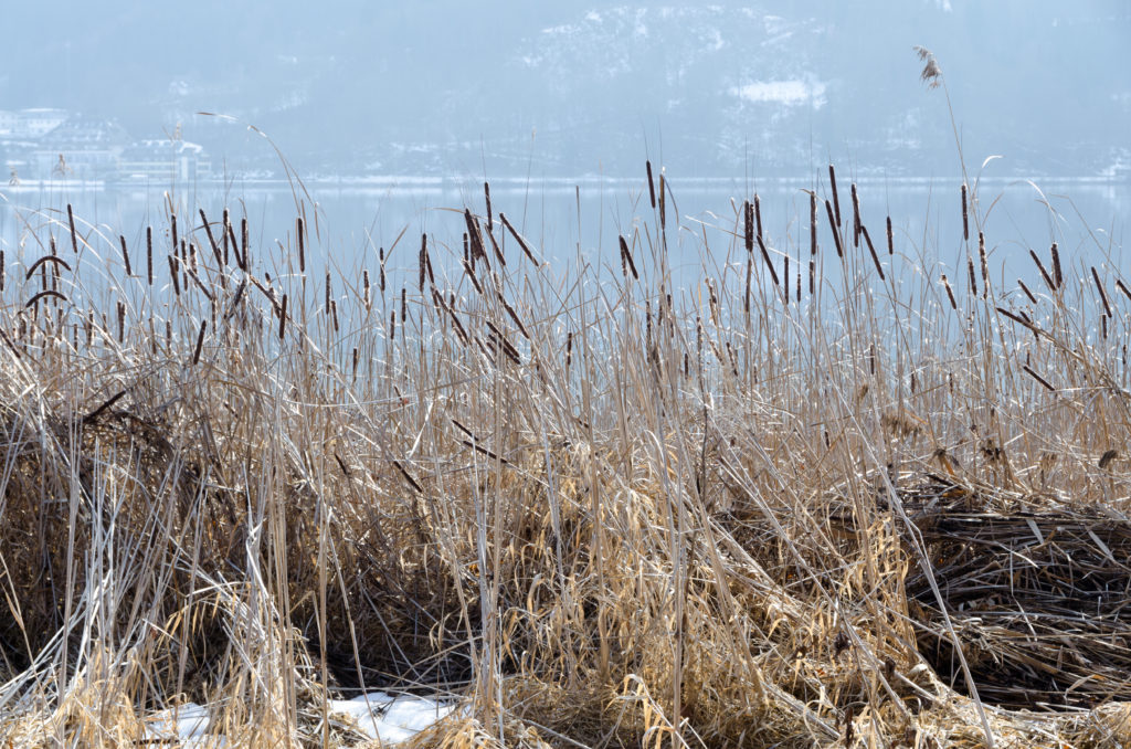 Cattails by a shore