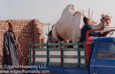 Handlers moving camel into a truck. Birqash Camel Market, Egypt.