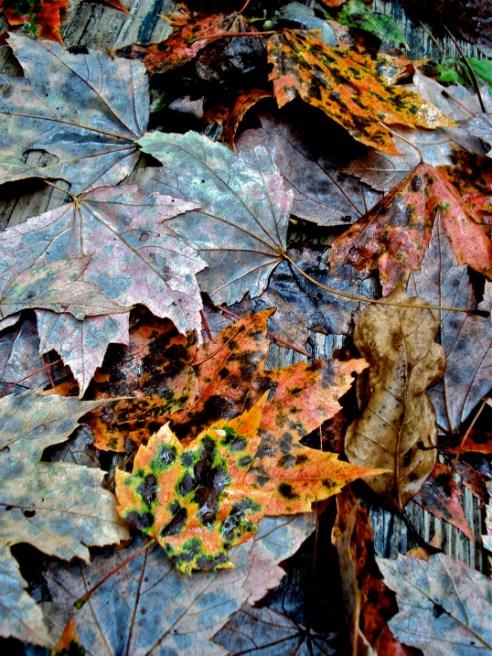 Fall leaves, Pittsboro, North Carolina