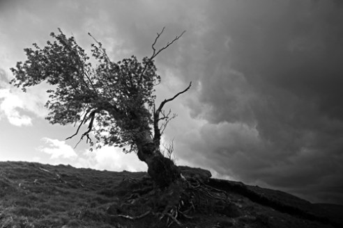 'Bent with age'. An old Rowan tree, bent with age and wind, and roots eroded by over grazing by sheep. Gartcarron, Carron Valley, Stirlingshire, Scotland.