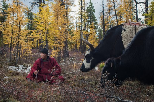 YOUNG GUIDES AROUND EAST TAIGA Another young guide rests while looking after oxen in East Taiga, Mongolia, on September 17, 2015. Guides mostly rely on horses to carry tourists and their baggage but sometimes use oxen for heavier loads.