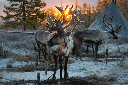 REINDEER IN EAST TAIGA Reindeer wait for their owner, Ganbat Tsendee (45), a member of the Tsaatan ethnic minority for their daily foraging in a nearby forest at sunrise in East Taiga, Mongolia on September 18. 2015.