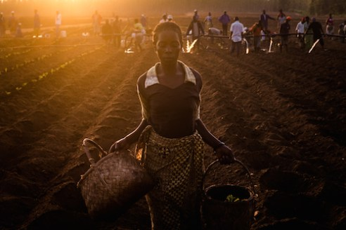 A woman plants tobacco on a tobacco estate near Zomba in Malawi. Growing tobacco is a thirsty business – each plant requires 20 liters of water to secure it in the dry ground after it is planted.