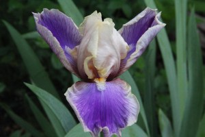 Another purple iris