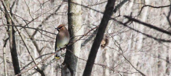 Cedar Waxwing. Is this not a stunning bird?