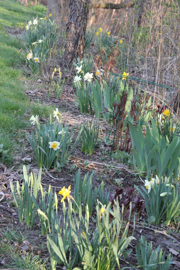 daffodils long shot