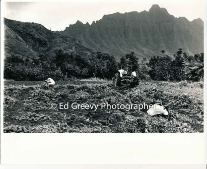 farming-in-kahaluu-2654-7-8a-4-28-73