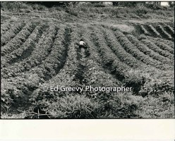 kahaluu-farming-2654-5-31-4-28-73