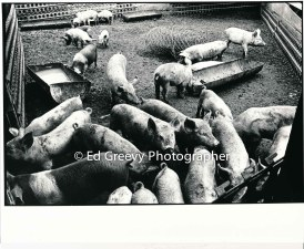 padeken-pig-farm-in-kahaluu-2654-3-6a-4-28-73_