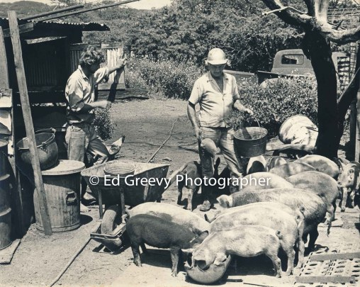 George Santos feeds his pig in Kalama Valley with help from Gene Parker (photographer and date unknown)