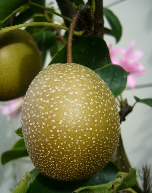 Asian Pear  Okusankichi  My Edible Landscape
