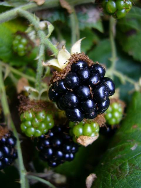 Blackberry  Himalayan  My Edible Landscape