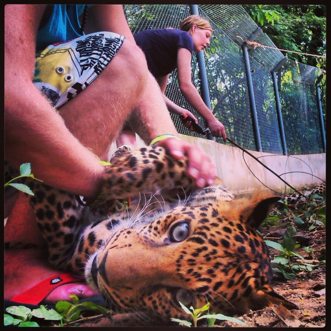 Playing with 15 months leopards