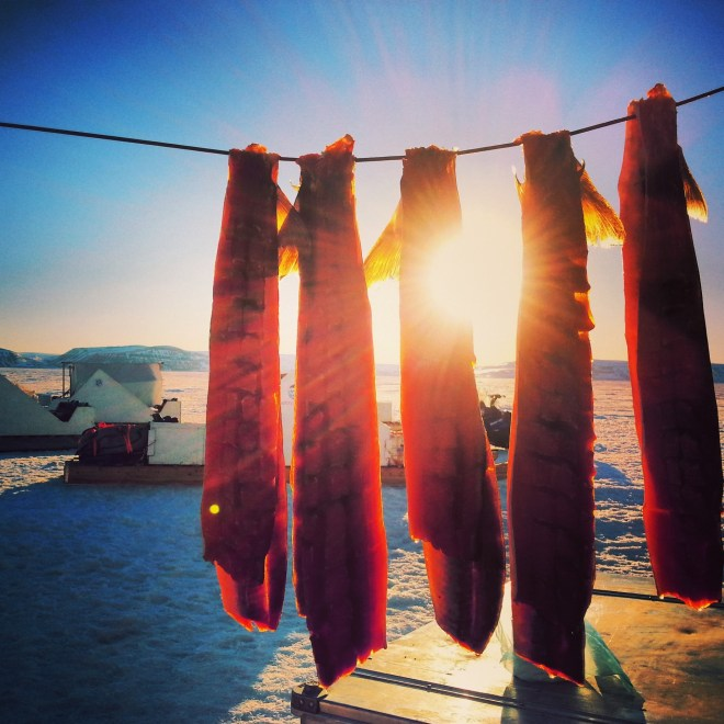 Pitsik drying in the midnight sun