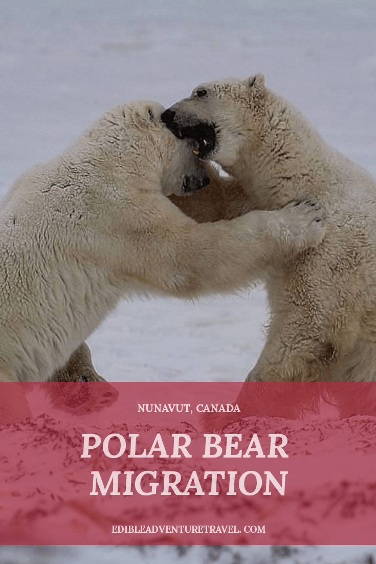 Polar Bear Migration - up close and personal with the world's largest land carnivore.