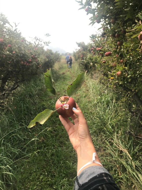 Holding a freshly picked apple in the apple orchards, apple trees grow abundantly on either side surrounded by tall wild grasses.