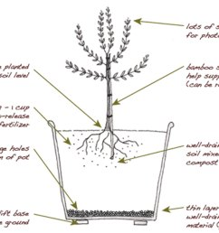 plant an olive tree in your edible backyard garden edible marinplanting and growing an olive tree [ 1500 x 1077 Pixel ]