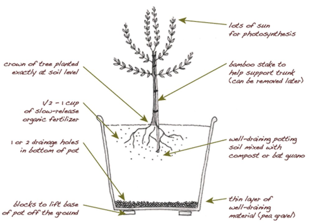 medium resolution of plant an olive tree in your edible backyard garden edible marin wine country
