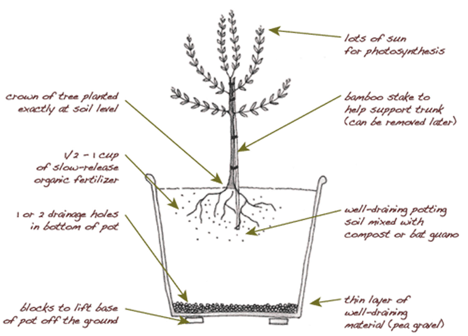 hight resolution of plant an olive tree in your edible backyard garden edible marin wine country