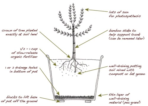 small resolution of plant an olive tree in your edible backyard garden edible marin wine country