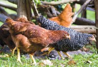 Keeping Chickens: Eggs in the Kitchen, Pets Out Back ...