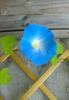 Morning Glory 'Heavenly Blue'.