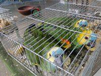 SAG decomisa 58 ejemplares de aves exóticas en control aduanero del Loa