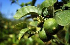 """Agricultores buscan mejorar sustentabilidad del """"limón de Pica"""": Firmarán Acuerdo de producción Limpia"""