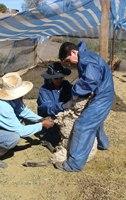 Chile se autodeclara país libre de brucelosis caprina y ovina