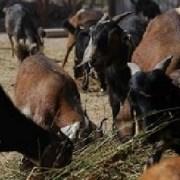 Chile libre de peste que afecta a pequeños rumiantes