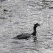 Ave Cormorán Yeco, fue devuelta a su hábitat luego de permanecer atrapada en palmera del Balneario Cavancha