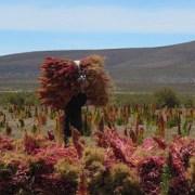 Potencian la producción comunitaria de quínoa en el Altiplano tarapaqueño