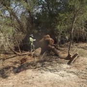 Detectan en la reserva Nacional Pampa del Tamarugal tala ilícita de árboles nativos, de la especie Tamarugo, destinados a la elaboración de carbón.
