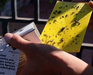 SAG finaliza campaña de erradicación contra lamosca de la fruta en Tarapacá y se declara qu